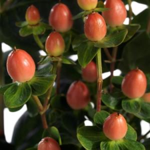 Peach Classic (Verpeacla) ®